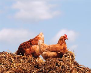 chickenfarm