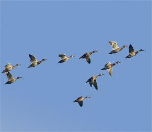 geeseflying
